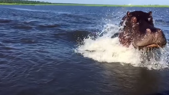 huge_fast_swimming_hippo_almost_catches_up_with_boat