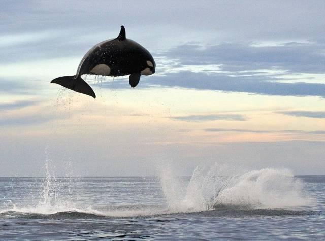 ¿Es verídica la fotografía de esta orca voladora?... ¡Descúbrelo respondiendo nuestro quiz semanal!